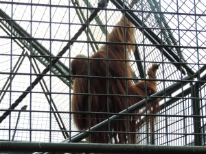 Rastafari Orangutan
