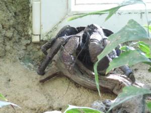 The ugliest animal - The Coconut Crab. / Najgrša žival, ki smo jo videli - Kokosov Rak